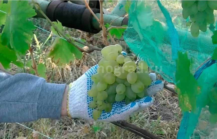 Бажена сорт винограда фото
