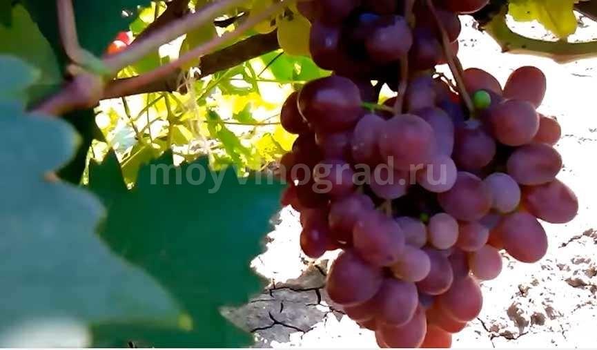 Груны-винограда-Виктория-фото