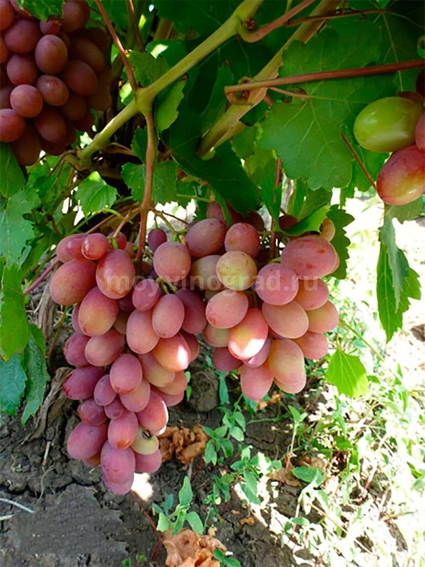 Описание гибридного сорта винограда Румба и его фото