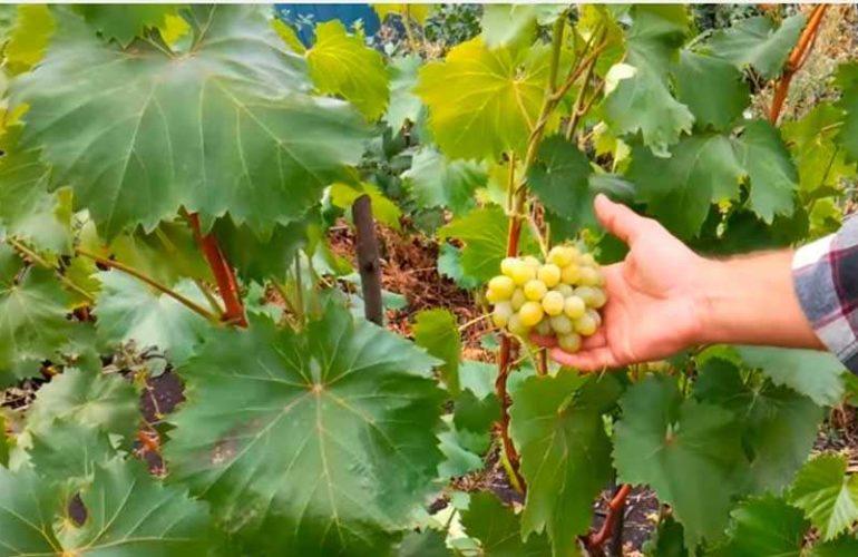 Виноград-Августин-фото