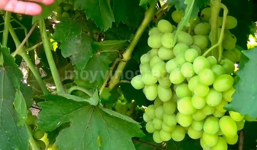 Виноград-Ландыш-гроздь-фото