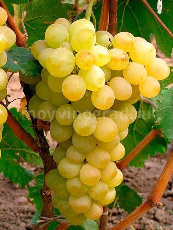 Виноград-сорта-Августин-фото