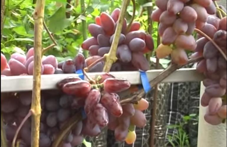 Ягоды винограда сорта Байконур фото