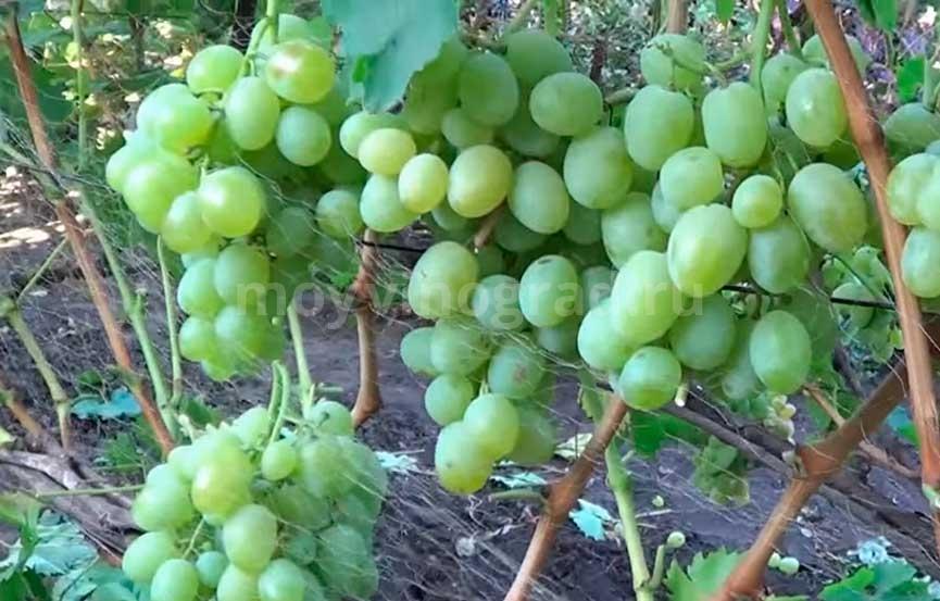 Богатяновский сорт винограда фото