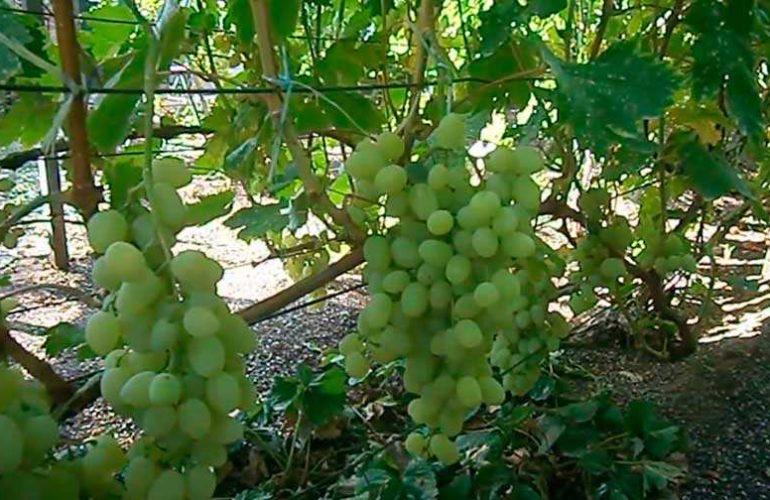 Долгожданный виноград 4 класса бессемяности фото