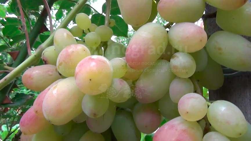 grozd-vinograda-yubiley-novocherkasska-foto
