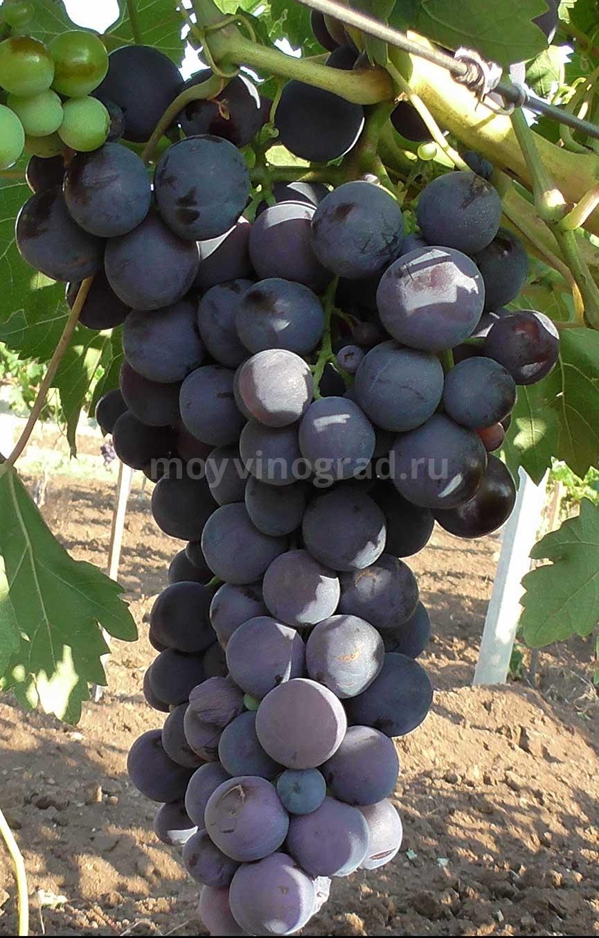 Виноград Кардинал особенности сорта фото