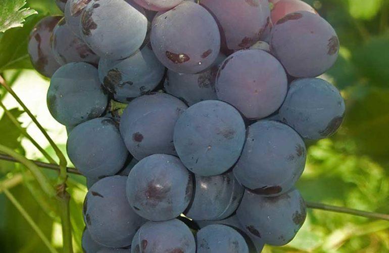 Гроздь винограда сорта Кардинал фото
