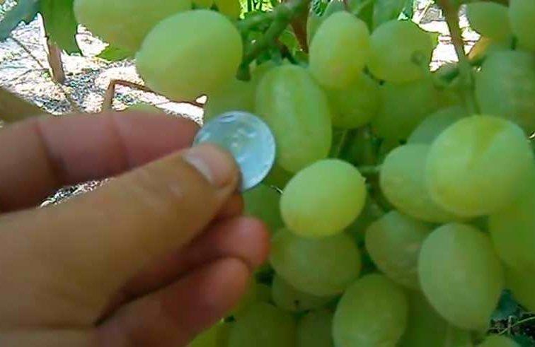 Киш миш Долгожданный сорт винограда фото