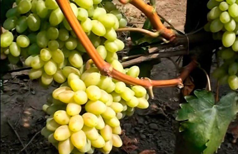 Как ухаживать за виноградом киш миш столетие фото