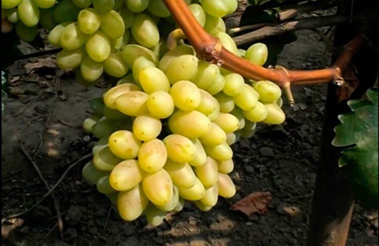 Виноград киш-миш-столетие-3 фото