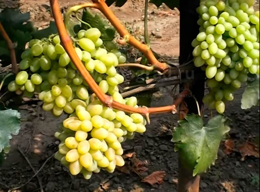 Уход за виноградом Киш Миш Столетие фото