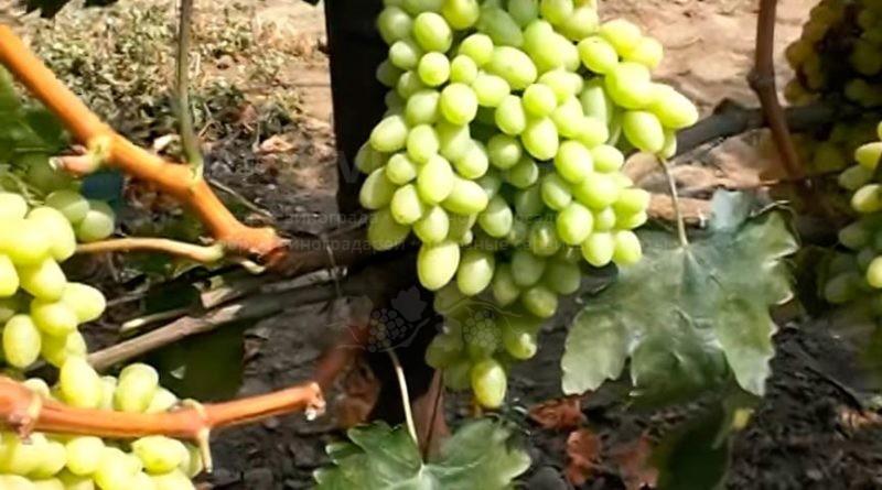 виноград-киш-миш-столетие-фото