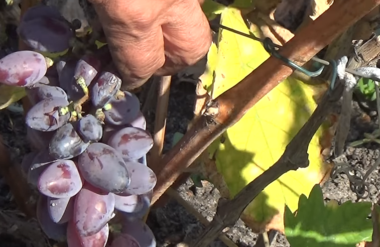 кисть винограда Байконур от пасынка фото