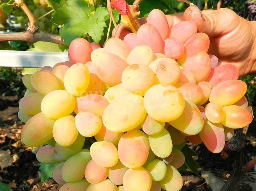 Гроздь винограда сорта Сенсация фото