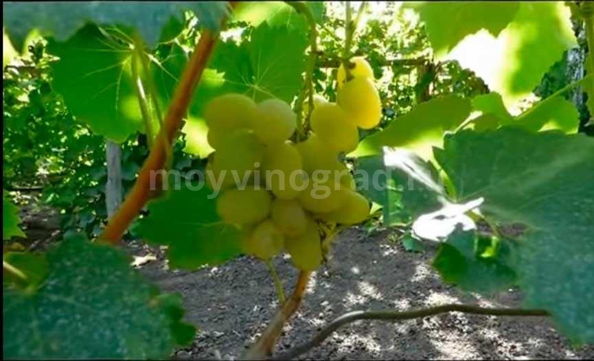 пелевин-сорт-винограда-фото