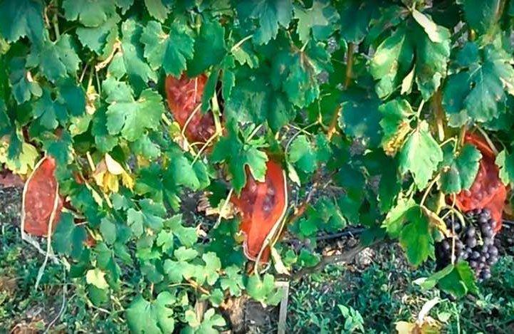 Куст винограда Подарок Несветая фото