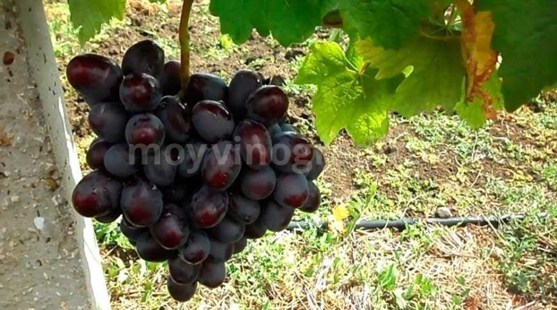 Подарок Несветая виноград описание сорта фото