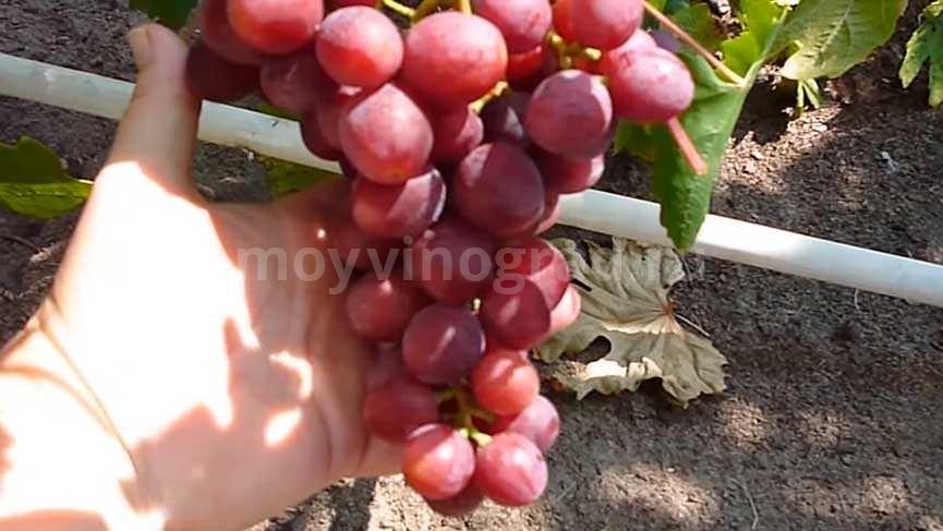 подарок-несветая-сигнальная-гроздь фото