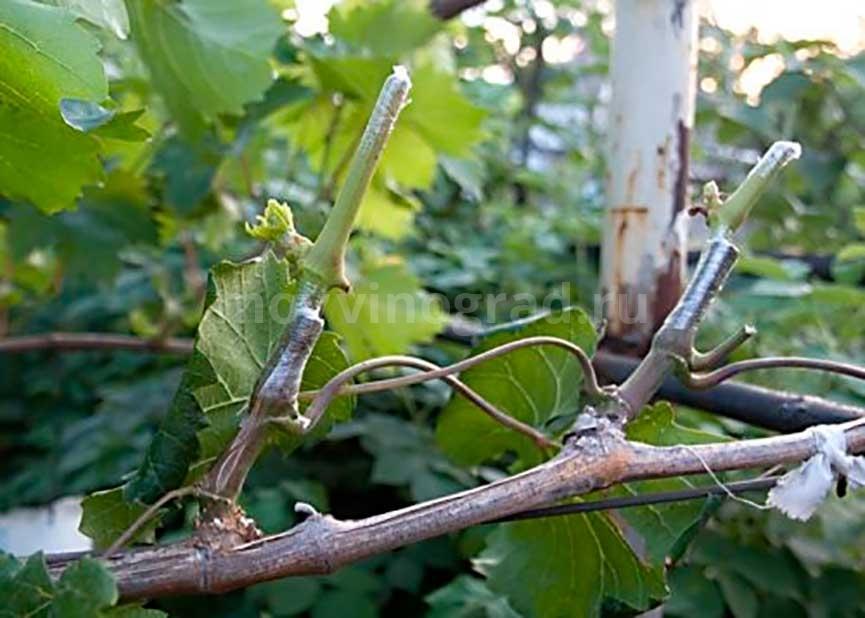 прививка-винограда-на-подвой-фото