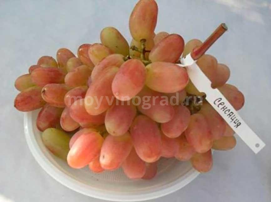 Ягоды винограда Сенсация фото