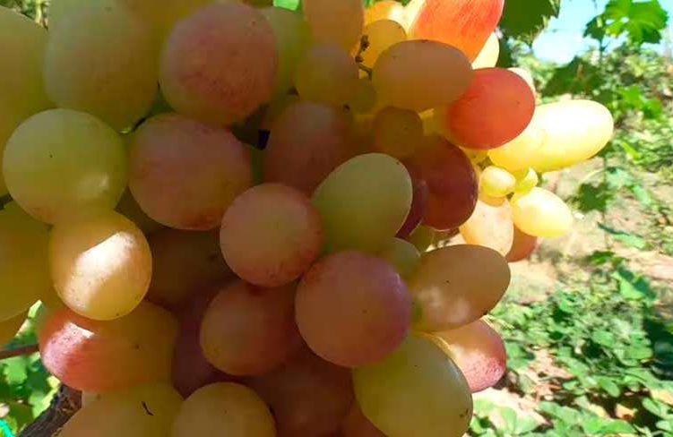 сигнальная-гроздь-тасон-виноград-фото