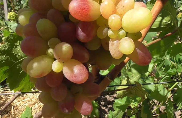 Сигнальная гроздь винограда Тасон фото