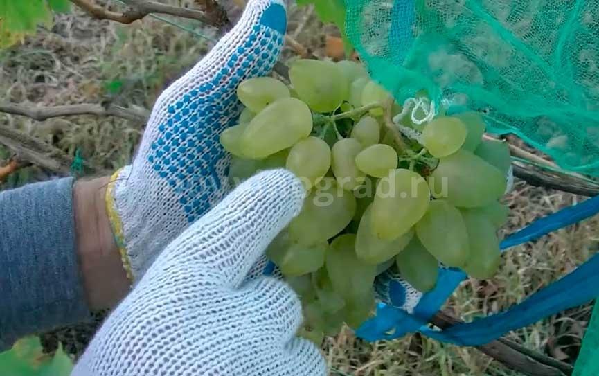 виноград-Бажена-3-ее-плодоношение-фото