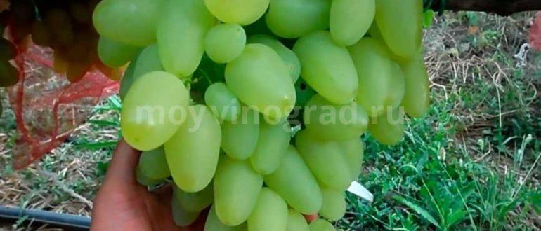 Виноград сорта Бажена фото