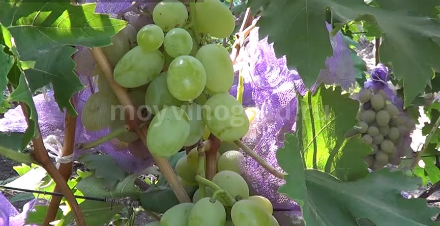виноград Богатяновский сорт фото