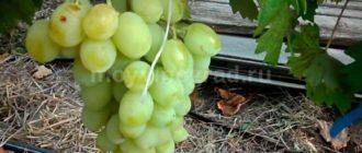 виноград-Ландыш-гибрид-фото