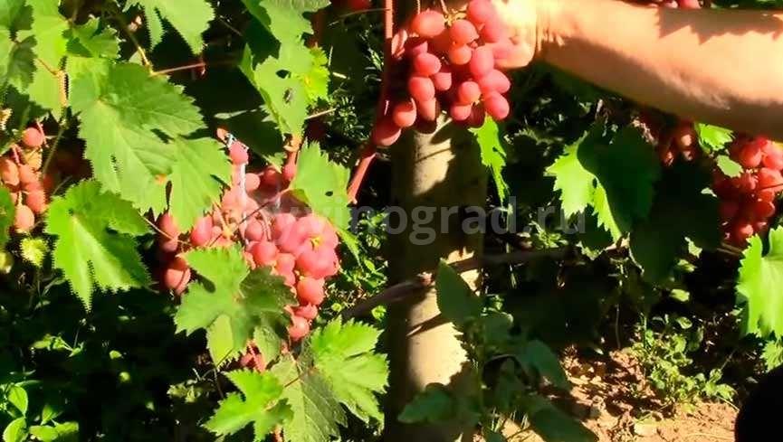 виноград-Виктория-1-фото