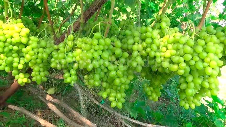 Пример кисти винограда Аркадия фото