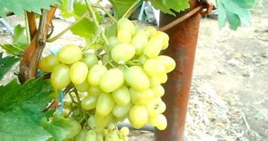 Виноград Аркадия описание сорта фото