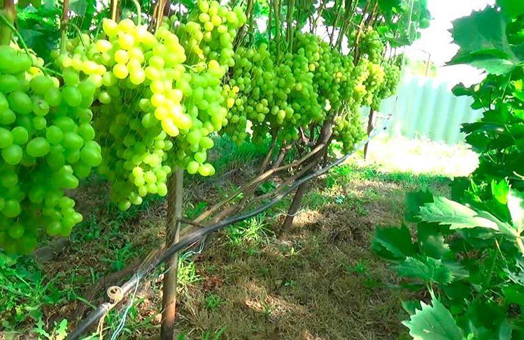 Виноград Аркадия сорт фото