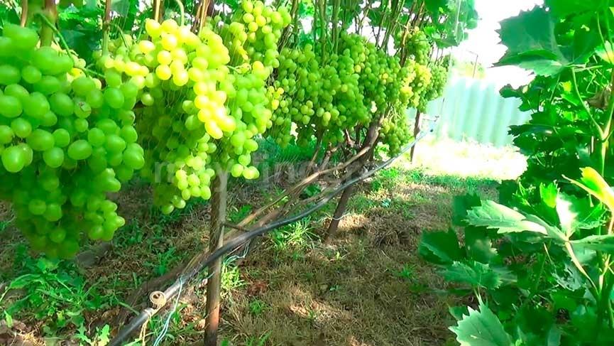 фото винограда новая аркадия именно то, чего