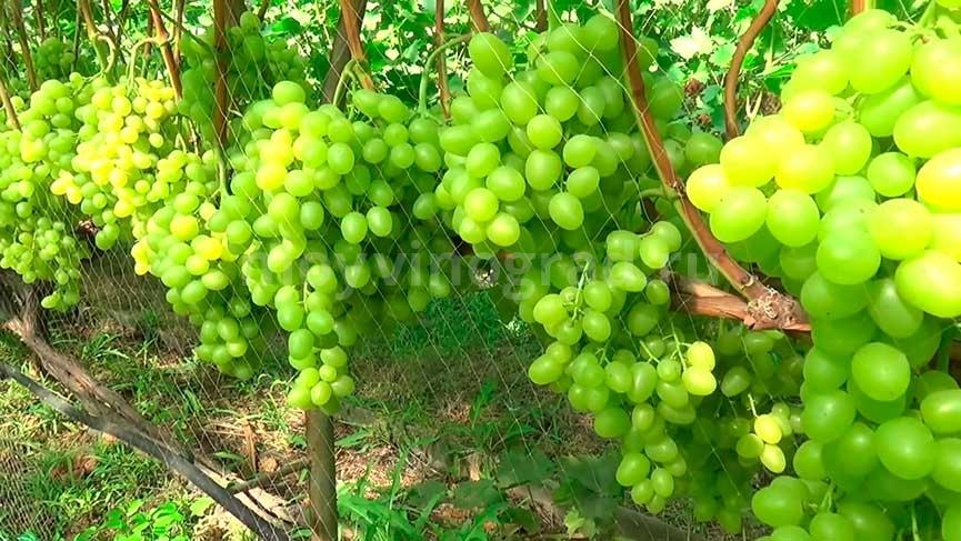 Урожайность винограда Аркадия фото