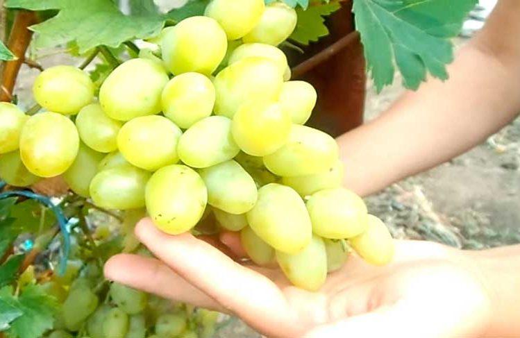 Гроздь винограда Аркадия фото