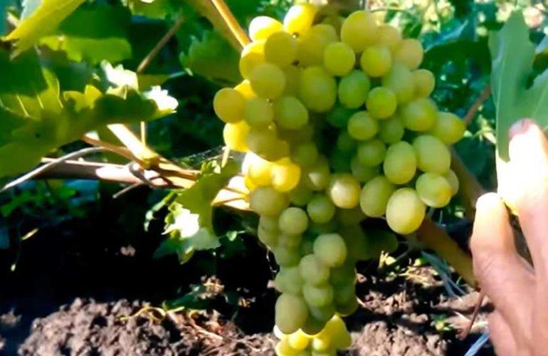 виноград-августин-гроздь-фото