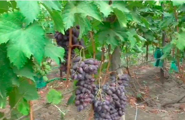 Байконур виноград фото