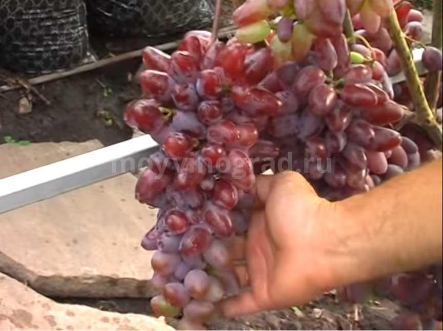 Виноград Байконур фото