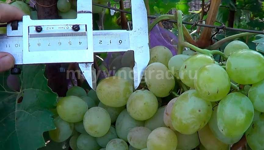 виноград-богатяновский-размер-ягод-фото