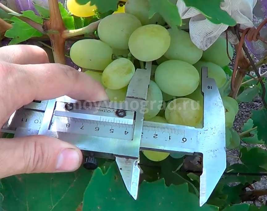 Виноград-Богатяновский-ягода-фото