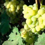 виноград-богатяновский-янтарный-цвет-фото