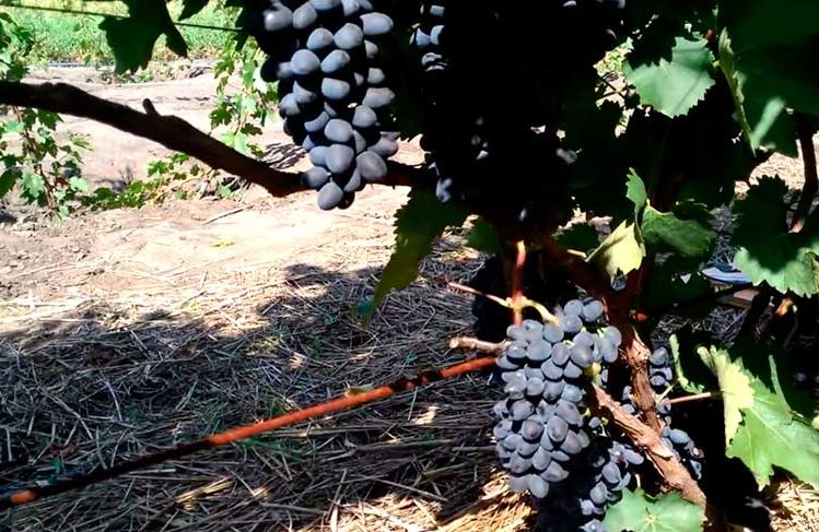 виноград-чарли-2-фото