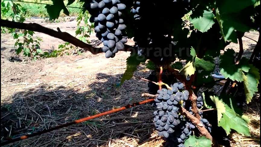 Виноград Чарли описание сорта с фото и видео