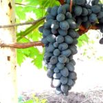 виноград-чарли-фото