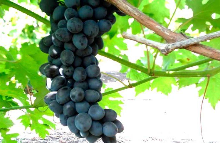 виноград-чарли-4-фото