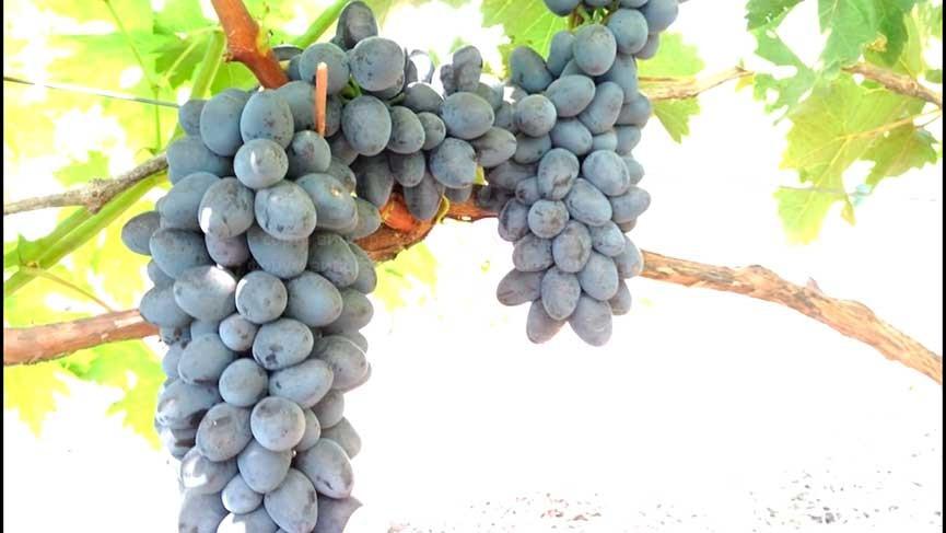 виноград-чарли-5-фото