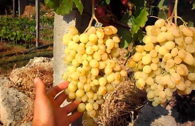 Долгожданный созревшие грозди фото